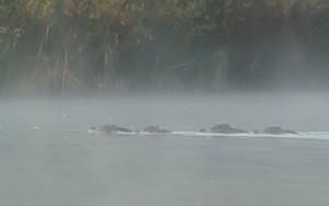 Sangliers traversant le Rhône