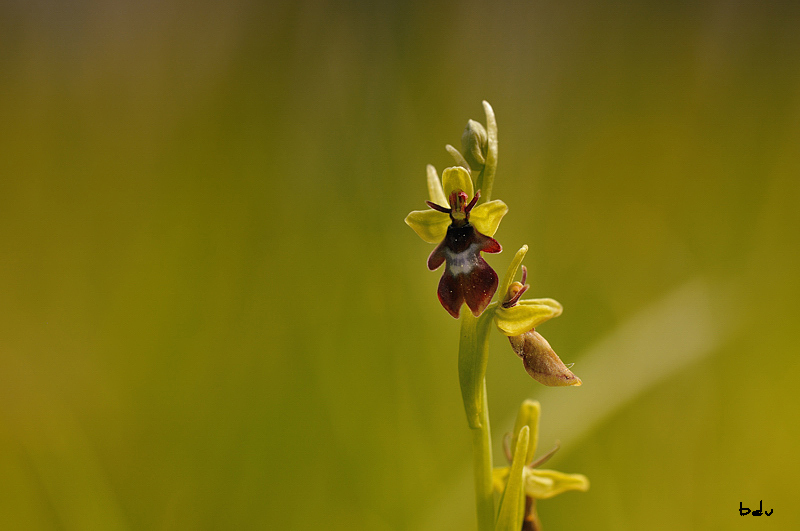 Timides Ophrys