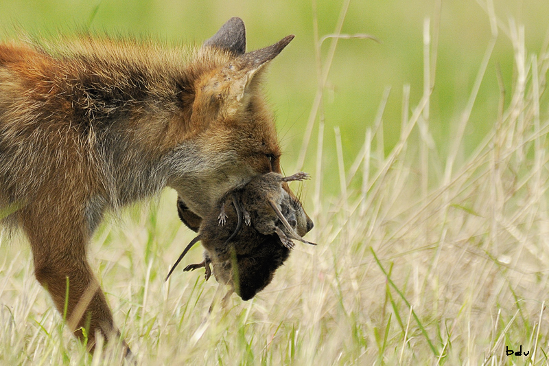 La chasse du renard : suite et fin