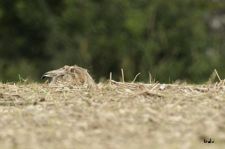 La discrétion du lièvre