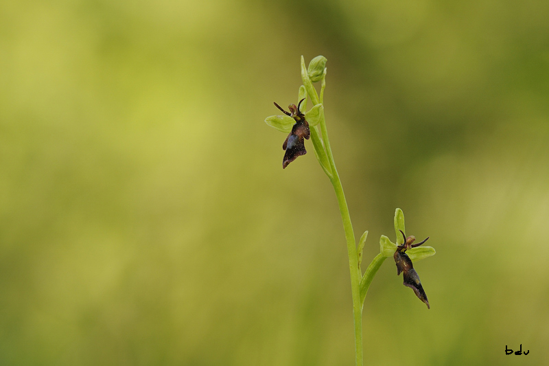Retour des Ophrys