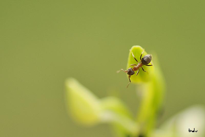 La Platanthère et les fourmis