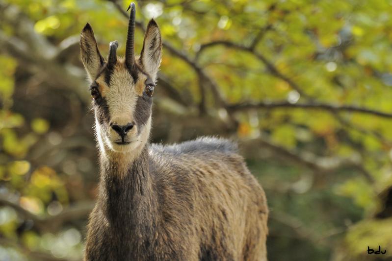 La curiosité du chamois forestier