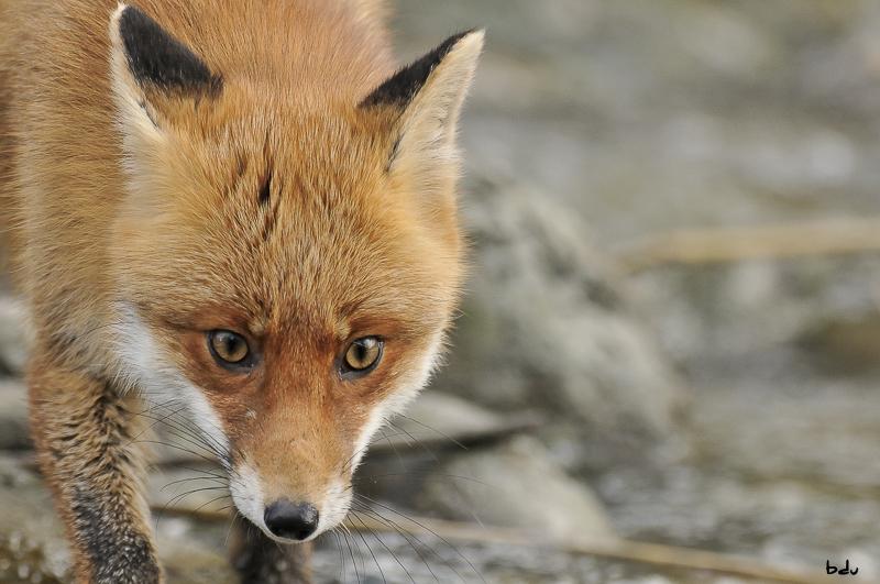 Le renard inattendu
