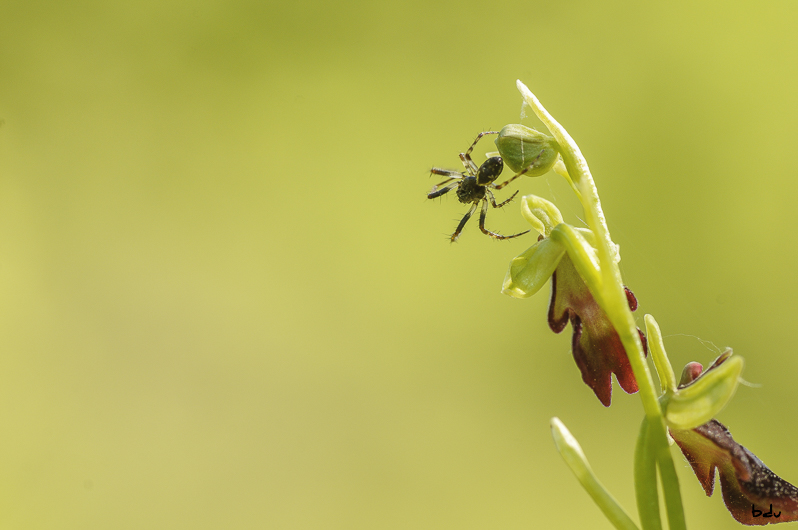 ophrys_insectifera64-1