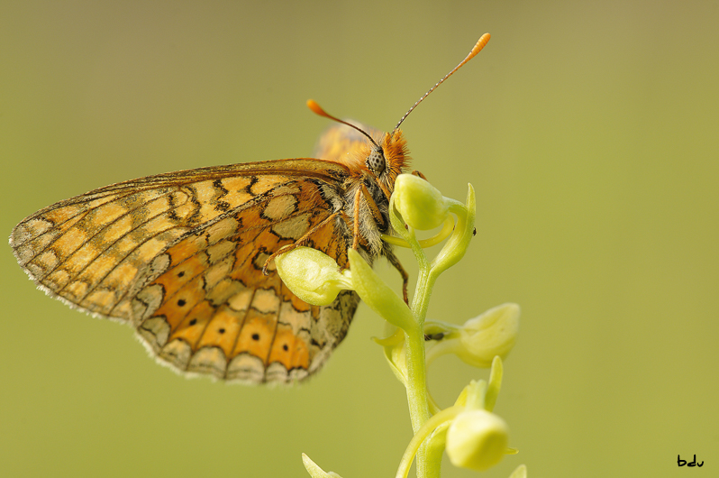 papillon096-1