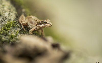 Les grenouillettes de l'Annaz
